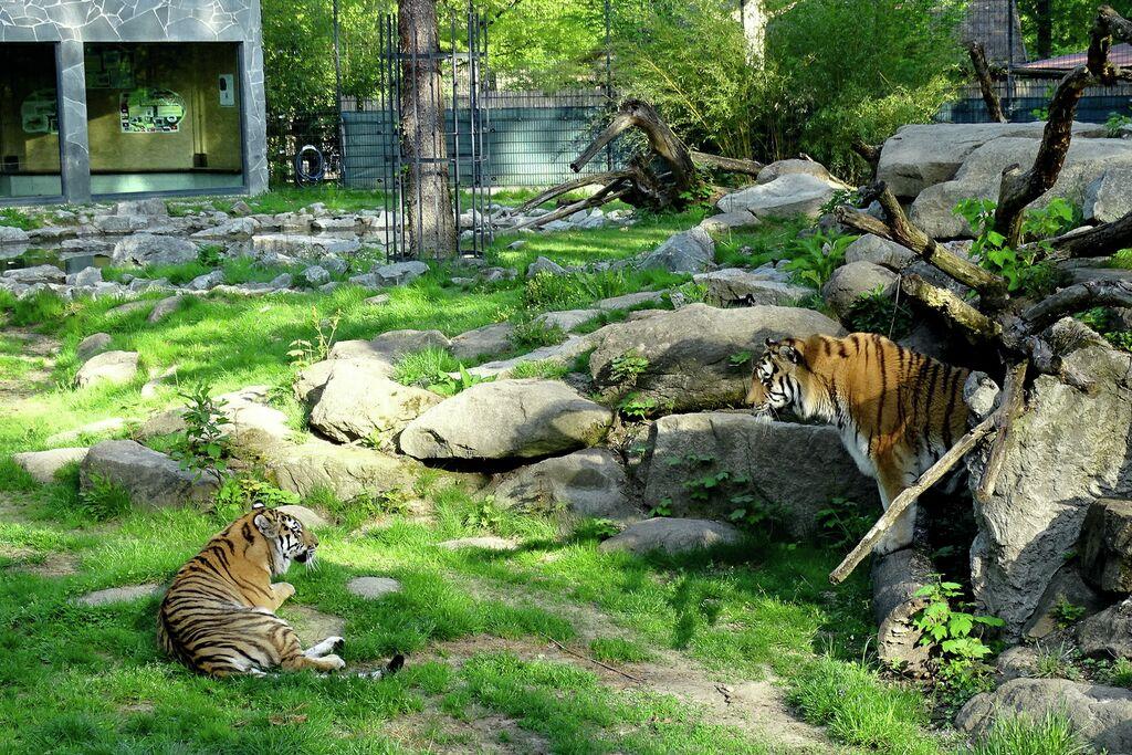 Tigerzusammenführung LF 250418 (16) bearb