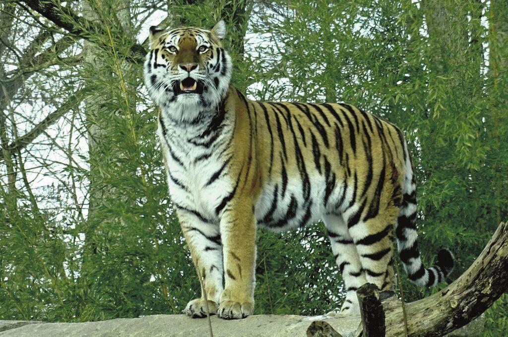 Tiger MG 310119 (15)